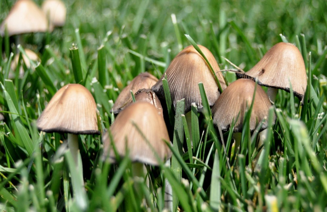 mushrooms growing in a grassy lawn