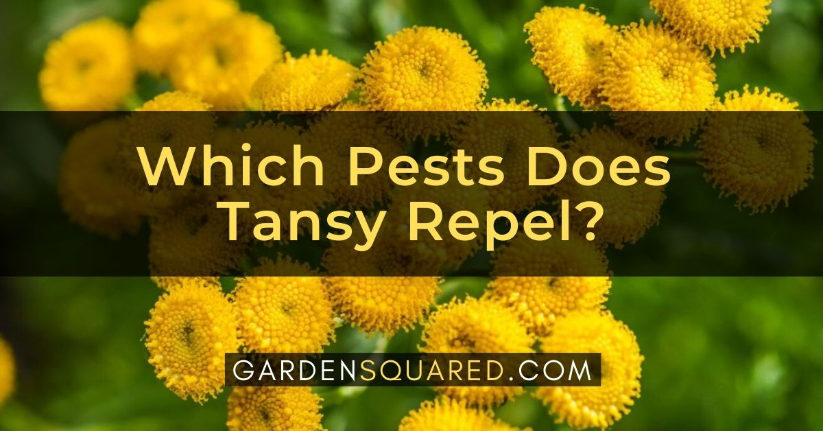 Which Pests Does Tansy Repel