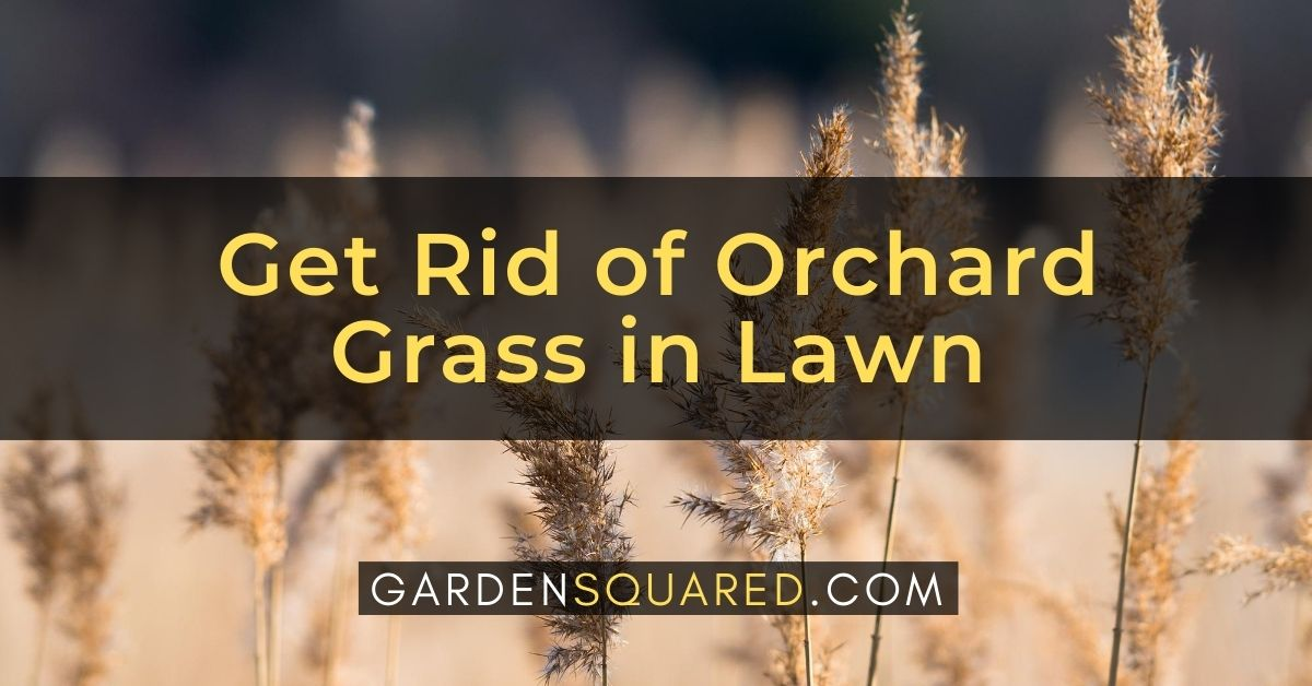 How To Get Rid Of Orchard Grass In Lawn