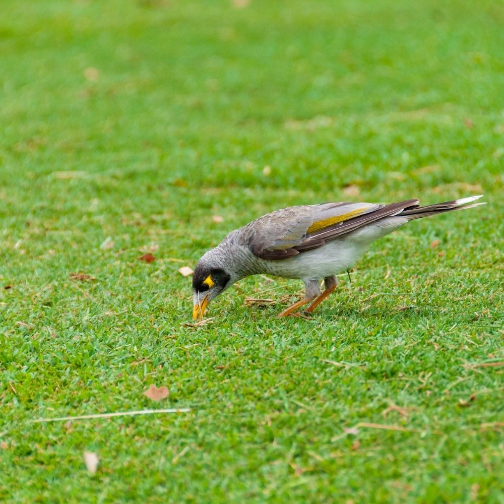 Birds From Eating Grass Seed
