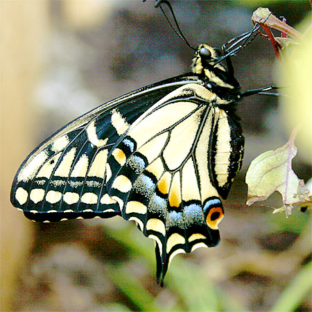 Wings closed, yellow butterfly with black stripes and blue spots