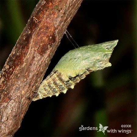 green chrysalis hanging from branch