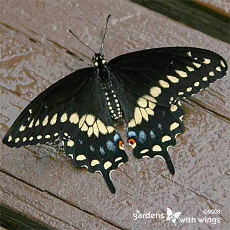 large black and yellow butterfly