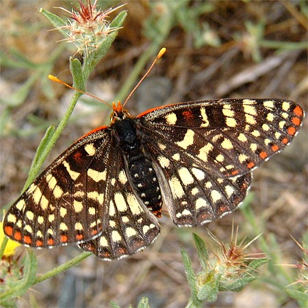 Chalcedon Checkerspot Open Wings