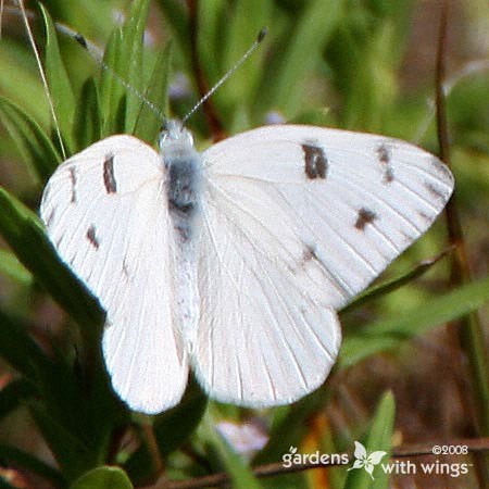 Checkered White Male Opened