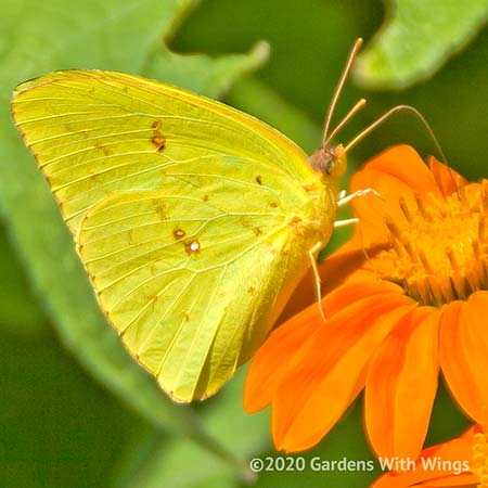 yellow butterfly feeding on mexican sunflower