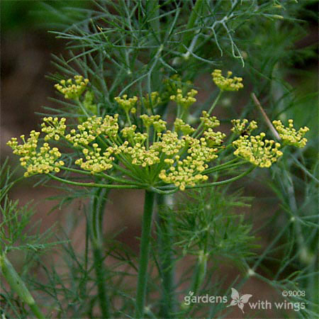 green dill plant with yellow flowers