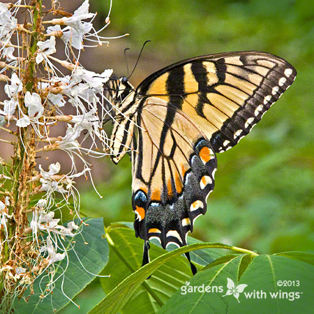 yellow-black butterfly feeding on white flower