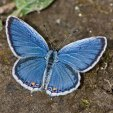 small blue butterfly with orange spot