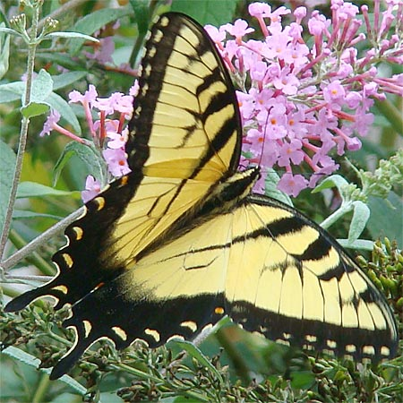 Yellow and Black Striped Male Butterfly