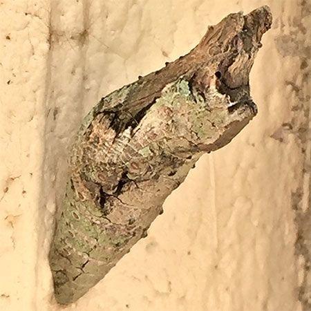 brown-tan butterfly chrysalis