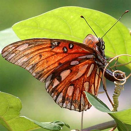 Female Gulf Fritillary