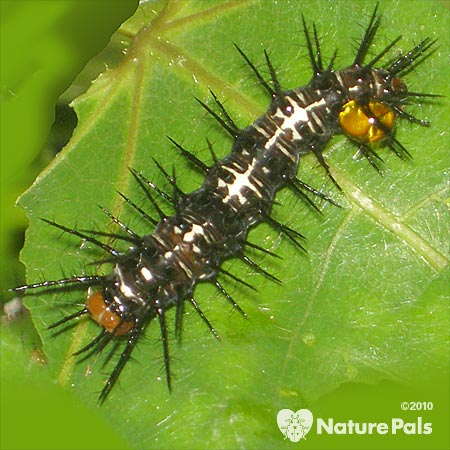 Julia Heliconian Caterpillar
