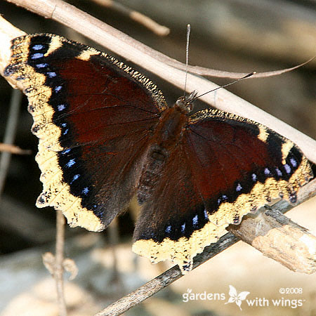 Mourning Cloak Open Wing