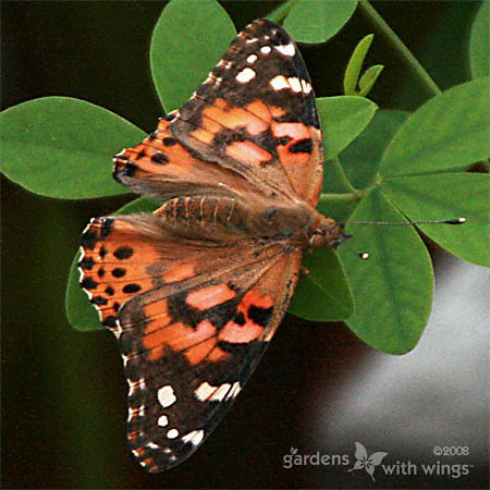 Painted Lady Wings Open