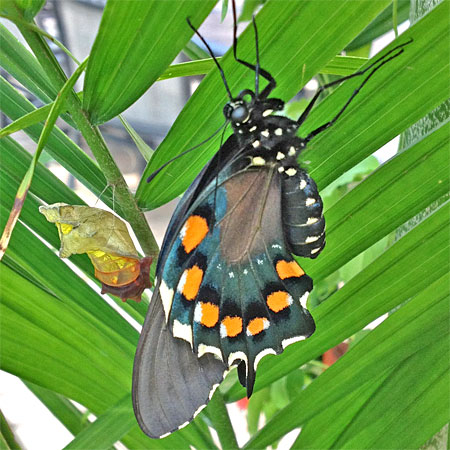 pipevine swallowtail drying wings