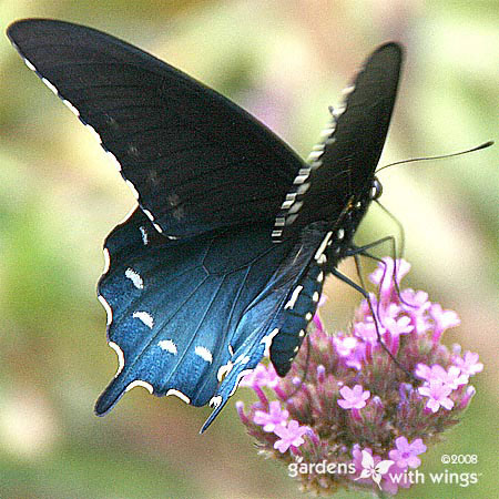 Male black and blue butterfly