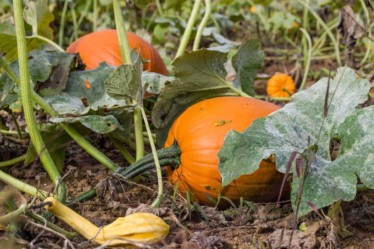 How To Control Pumpkin Vines