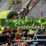 Thrifty Gardening How To Divide Succulents