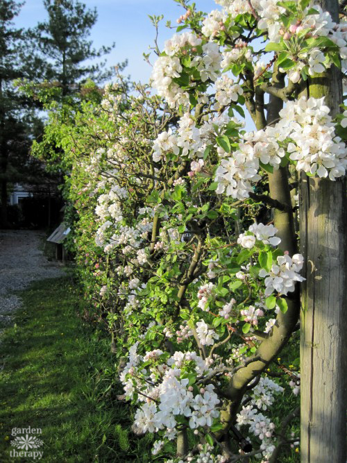 Espalier apples with blossoms