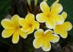 Fragrant frangipani