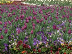 The under plantings are always a big feature at Floriade. Here the purple tulips and combined with mixed violas.