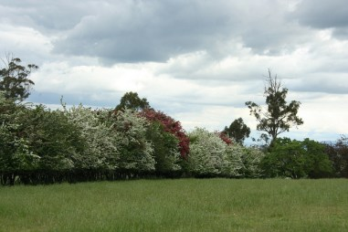 Flowering spring trees at Brickendon