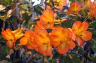 Queensland Garden Expo tropical rhododendron
