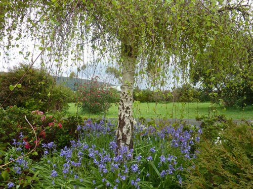 Bluebells at The Boomerangs