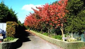 Cedar Park Gardens driveway cherries in autumn