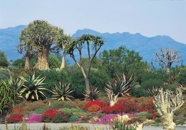 Colourful vygies in Karoo Desert Botanical Garden, Worcester. Photo South African Tourism