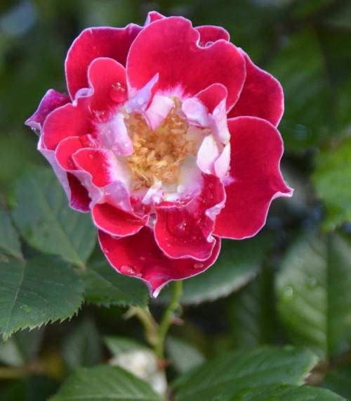 Roses at Havelock House, Hawkes Bay NZ