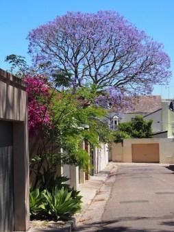 Jacaranda Australia