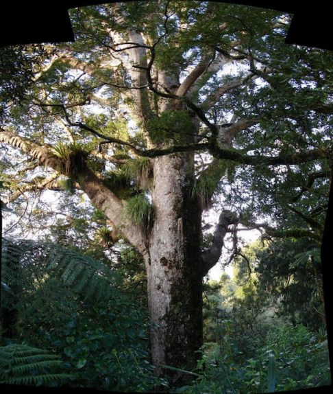 Kauri in Waitakere Ranges NP New Zealand Photo Tatters