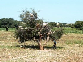 Morocco - Argan tree with goats Photo Linda Green