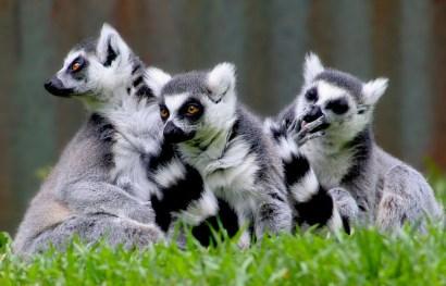 Ringtailed lemurs (Lemur catta), Madagascar
