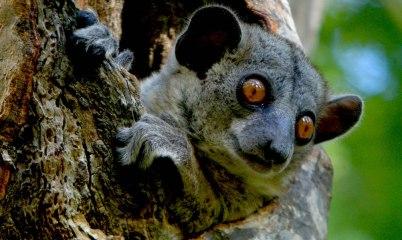 Red-tailed-Sportive Lemur, Kirindy Reserve, Madagascar