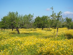 Flower-meadow on Mallorca, Balearic Islands, Spain. Photo Hans