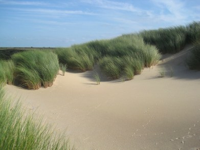 Netherlands - dune marram grass. Photo tpsdave