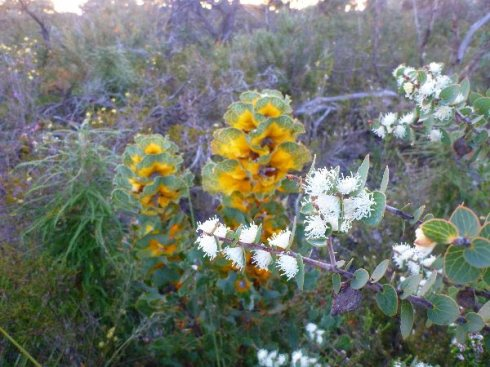 Western Australia wildflowers including Royal hakea (centre). Photo Angus Stewart