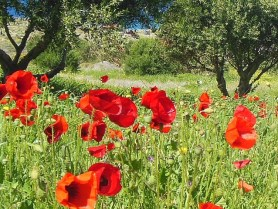 Field of red corn poppies, Papaver rhoeas