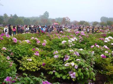 Huge Luoyang Peony Festival grounds - and crowds.Photo Peter Whitehead