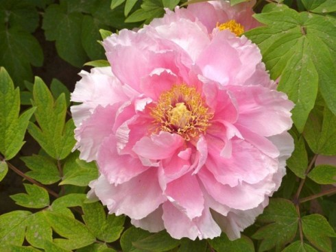 Massive pink peony at the Luoyang Peony Festival. Photo Peter Whitehead