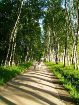 Birch avenue leading to Yasnaya Polyana, home of Leo Tolstoy. Photo Celest.ru