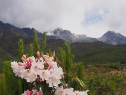 Rhododendron at Cangshan mountain, Yunnan