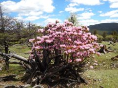 Wild rhododendron growing at Cangshan Mountain