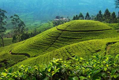 Tea plantation in up country near Nuwara Eliya
