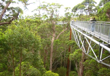 Valley of the Giants Tree Top Walk, Walpole. These 'giants' refer to the tingle trees that make up this spectacular forest, which only occur in this area and can grow to a height of 75m and have a circumference of up to 25m.