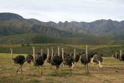 Oudtshoorn ostriches © South African Tourism