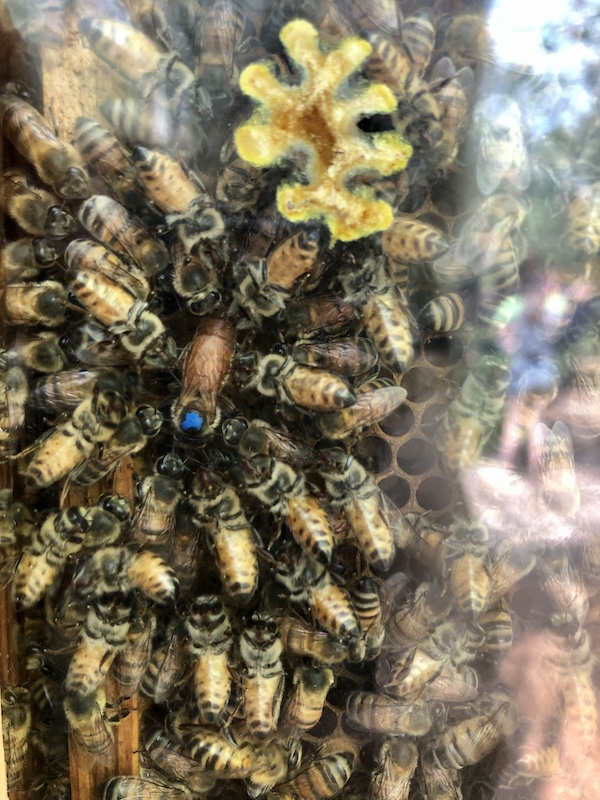 queen bee laying eggs